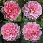Camellia japonica 'The Mikado'