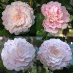 Camellia japonica 'Thompsonii'