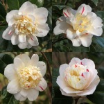 Camellia japonica 'Tinker Toy'