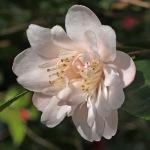 Camellia 'Tiny Princess'