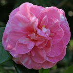 Camellia japonica 'Tom Cat Variegated'
