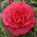 Camellia japonica 'Tomorrow Supreme'
