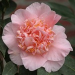 Camellia x williamsii 'Toni Finlay's Fragrant'