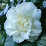Camellia 'Trewithen White'