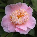 Camellia japonica 'Trinket'