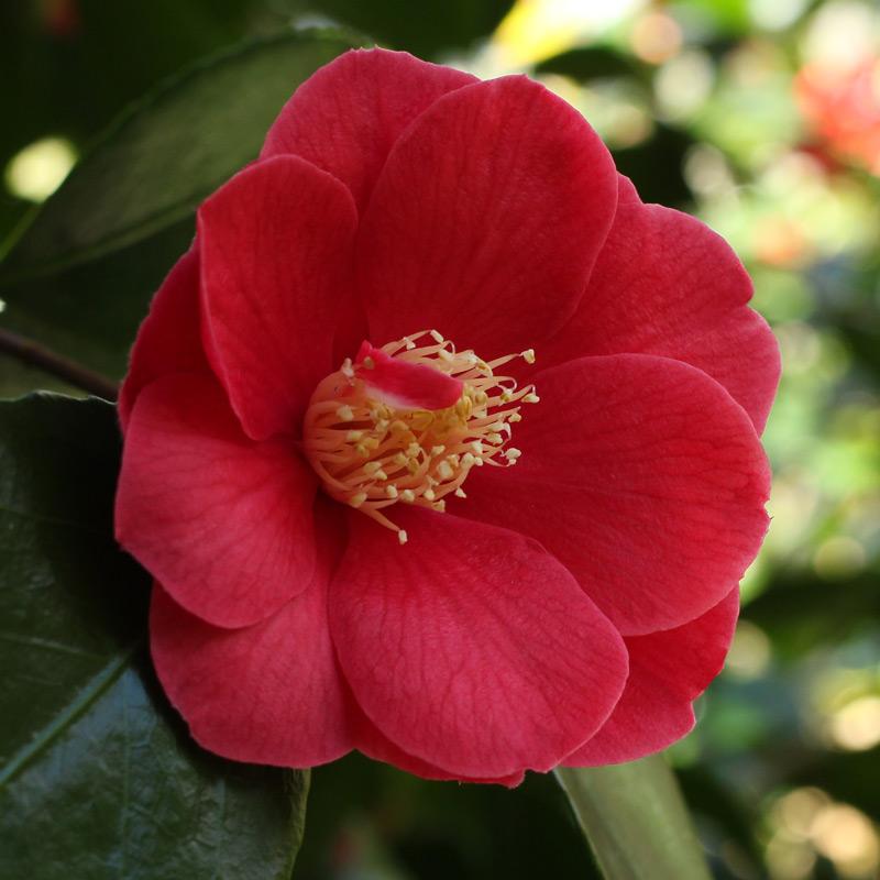 Camellia japonica 'Trumpeter'