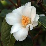 Camellia tuberculata