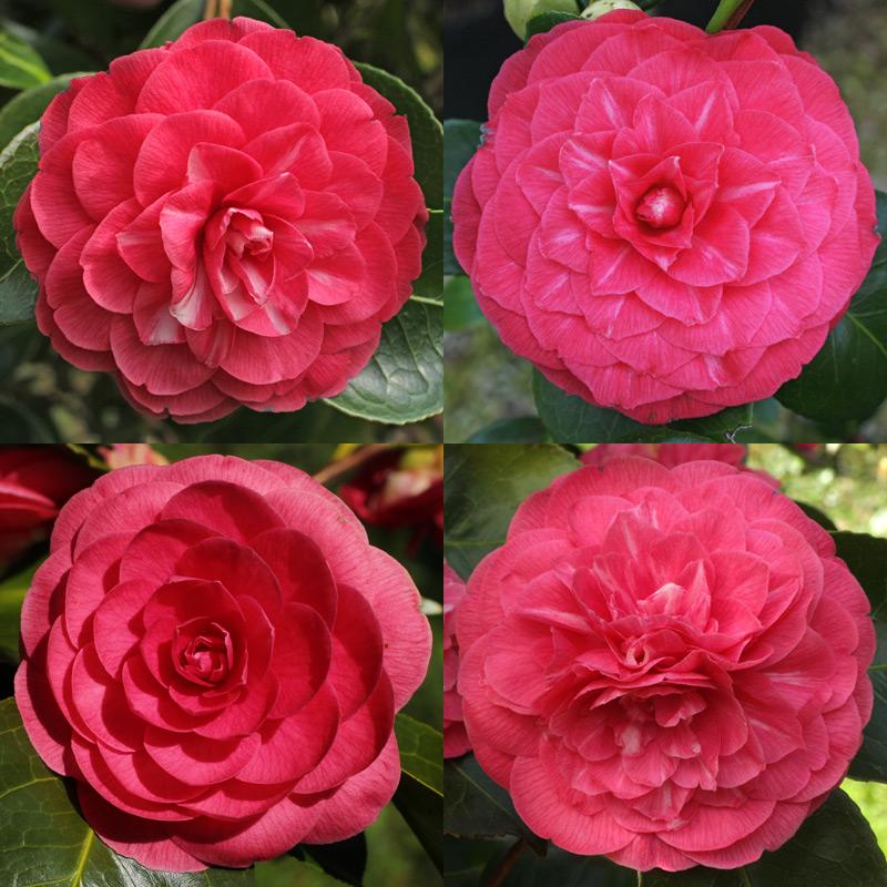 Camellia japonica 'Valtevareda'