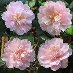 Camellia japonica 'Virginia Robinson'