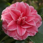 Camellia japonica 'Vittorio Emanuele II'