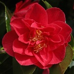 Camellia japonica 'Waverley'