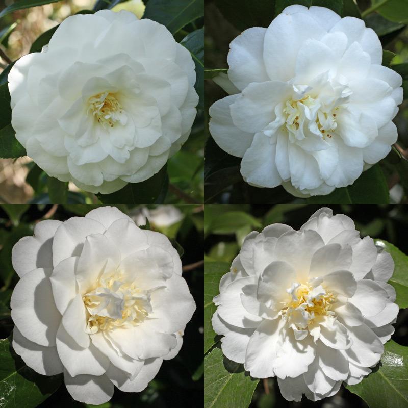 Camellia japonica 'White Giant'