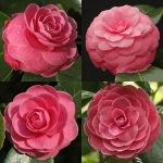 Camellia japonica 'Wilamina'