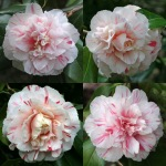Camellia japonica 'William Honey'