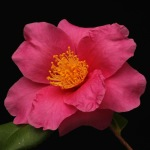 Camellia 'Winter's Fire'