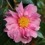 Camellia 'Winter's Joy'