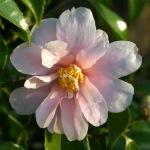 Camellia 'Winter's Toughie'