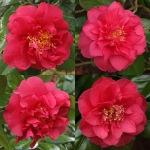 Camellia japonica 'Wonderland'