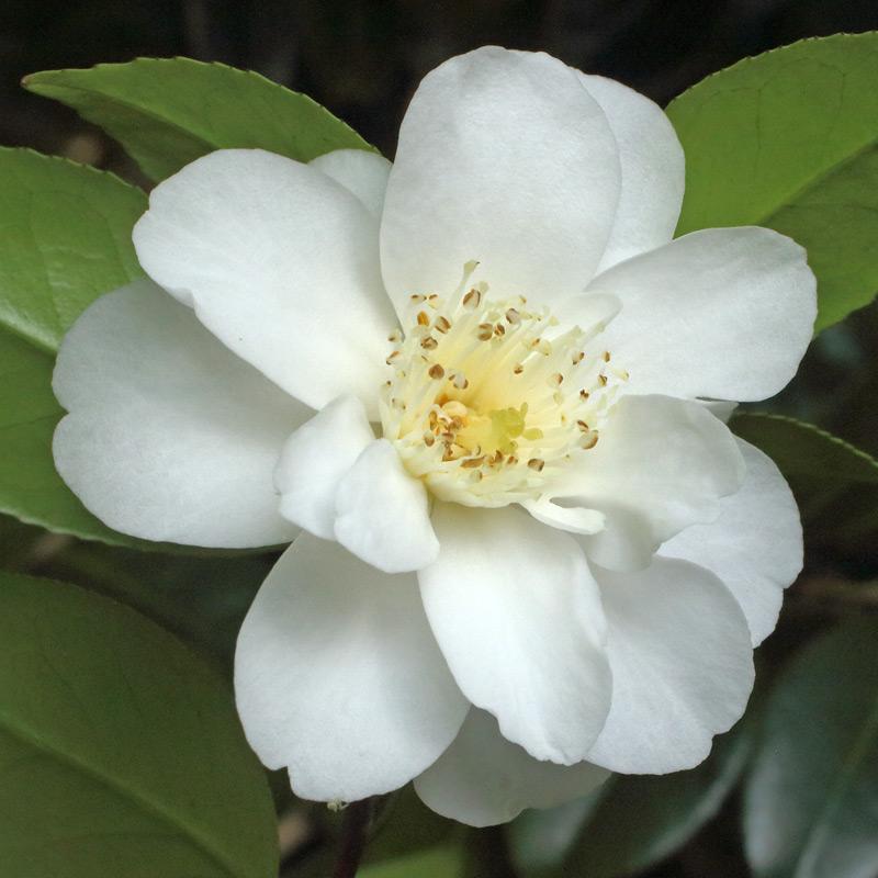 Camellia japonica 'Yukibotan'