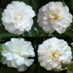 Camellia japonica 'Yukimi-haki'