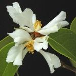 Camellia yuhsienensis