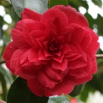 Camellia japonica 'Alice Wood'