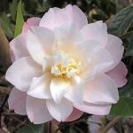 Camellia japonica 'Auburn White'