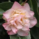 Camellia japonica 'Ballet Dancer'