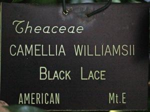 Camellia hybrid 'Black Lace'