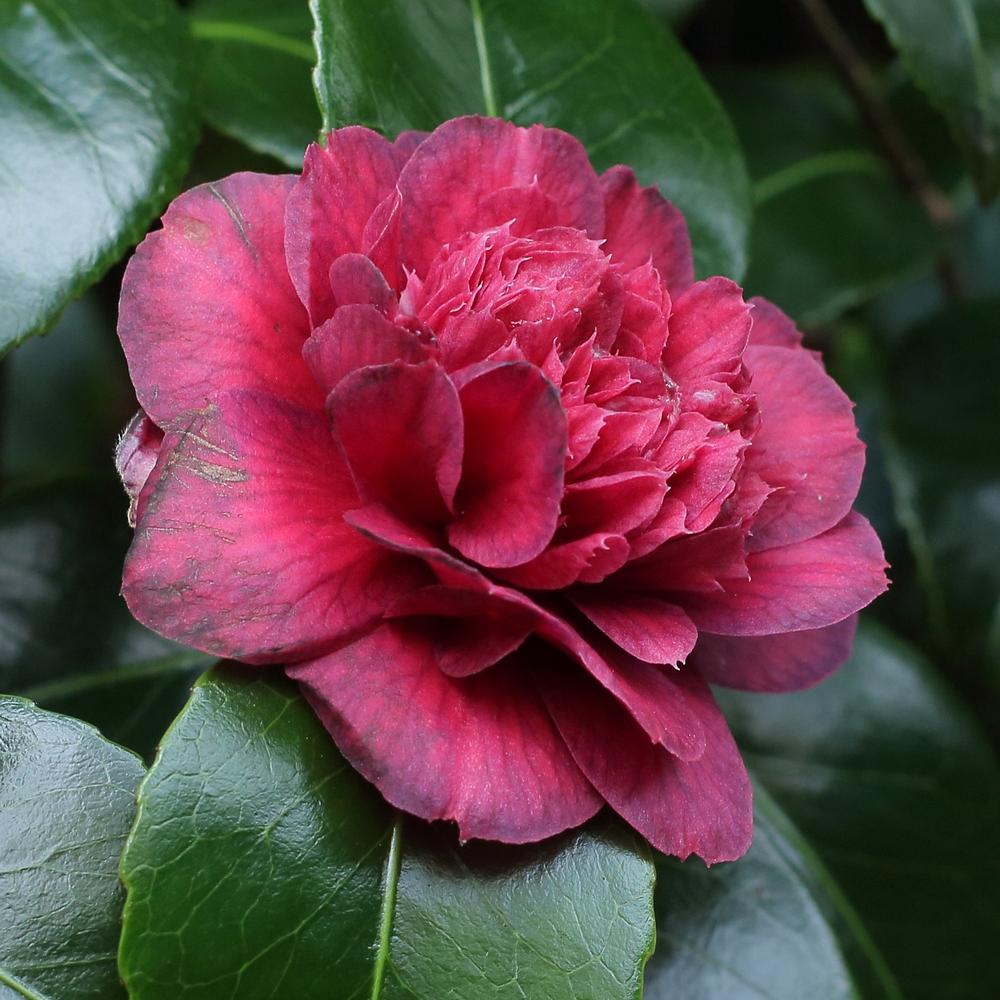 Camellia japonica 'Captain Blood'