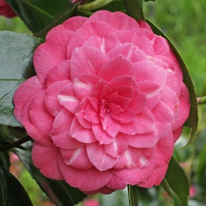 Camellia japonica 'Cardinal'