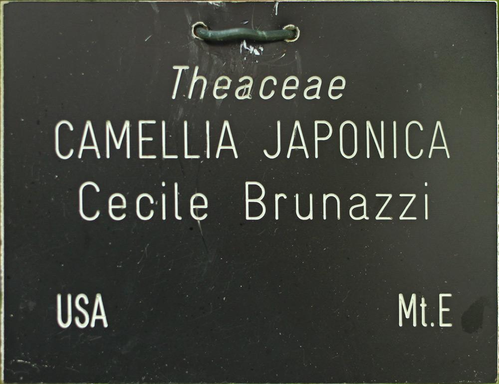 Camellia japonica 'Cecile Brunazzi'