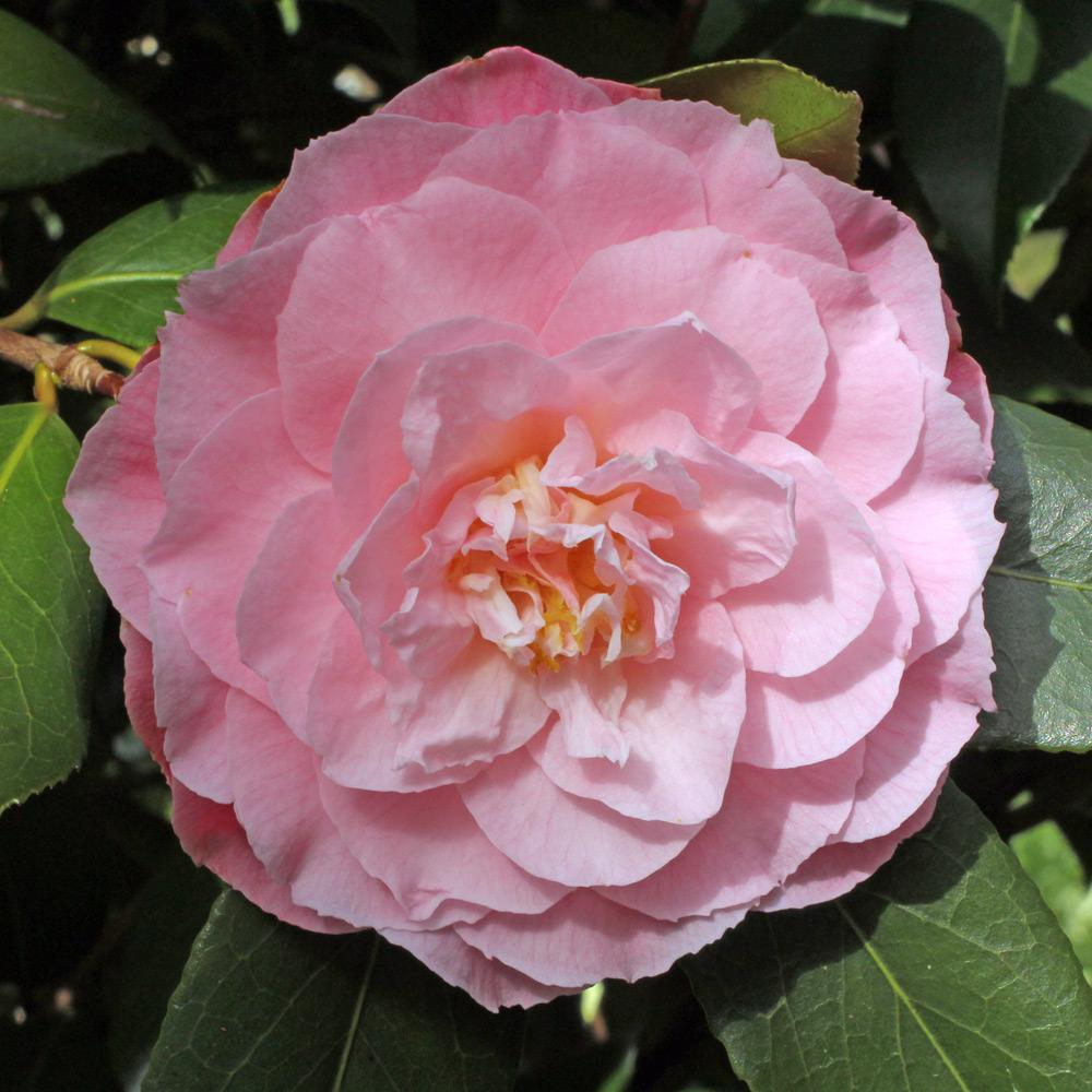 Camellia x williamsii 'Chatsworth Belle'