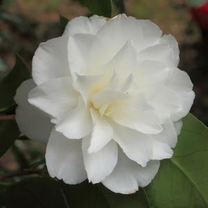 Camellia japonica 'Etherington White'