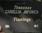 Camellia japonica 'Flamingo'