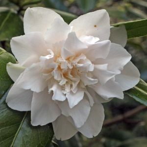 Camellia x williamsii 'Hope'