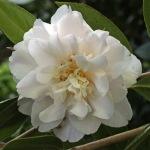 Camellia x williamsii 'Hope'