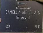 Camellia 'Interval'