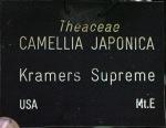 Camellia japonica 'Kramers Supreme'
