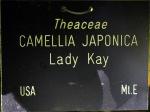 Camellia japonica 'Lady Kay'
