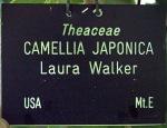 Camellia japonica 'Laura Walker'