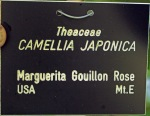 Camelia japonica 'Marguerite Gouillon Rose'
