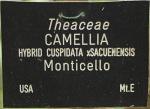 Camellia hybrid 'Monticello'