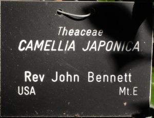 Camellia japonica 'Reverend John Bennett'