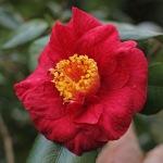 Camellia 'Satan's Robe'