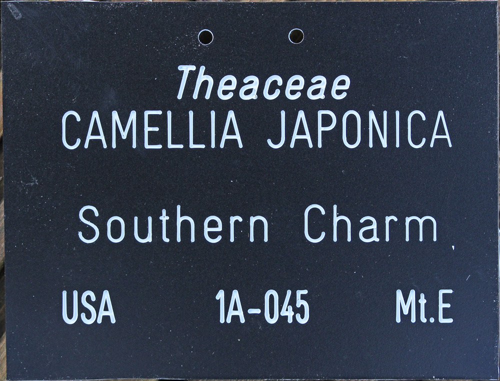 Camellia japonica 'Southern Charm'