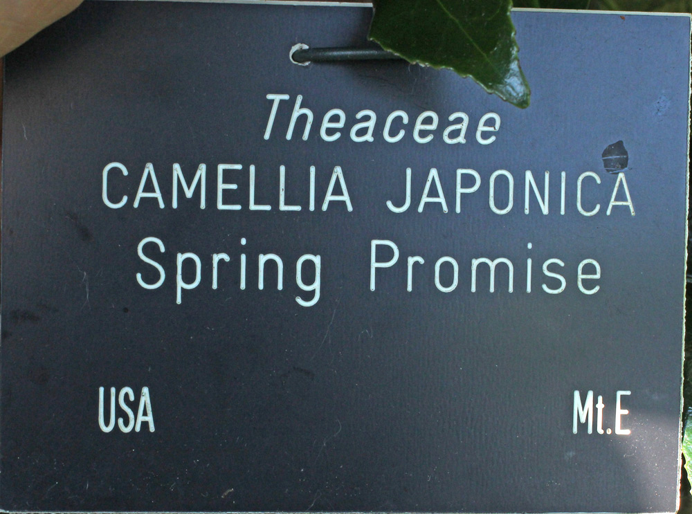 Camellia japonica 'Spring Promise'