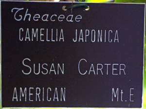 Camellia japonica 'Susan Carter'