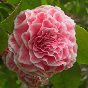 Camellia japonica 'Tom Thumb'