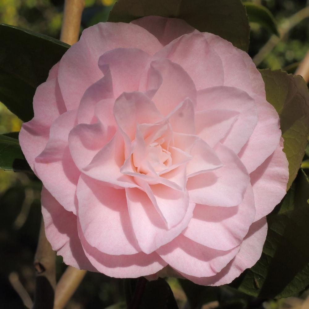 Camellia japonica 'Tomorrow Park Hill'